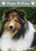 Shetland Sheepdog-Happy Birthday (No Theme)